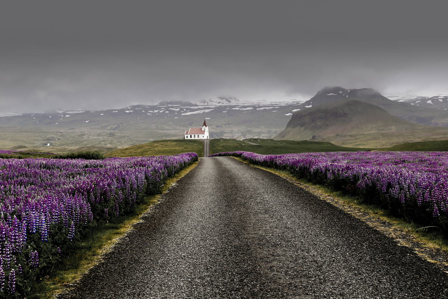Field of Violet Lupine Flowers Near Road to Ingjaldsholl Church, Iceland