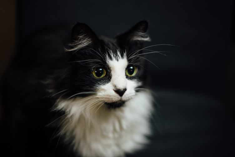 Black Norwegian Forest Cat with White Neck