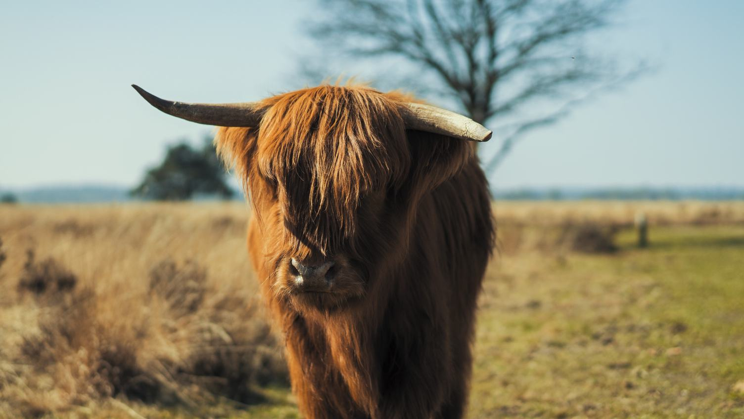 Scottish Highland Cow with Broken Horn in a Field
