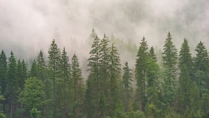 Misty Evergreen Forest on the Mountain Slope