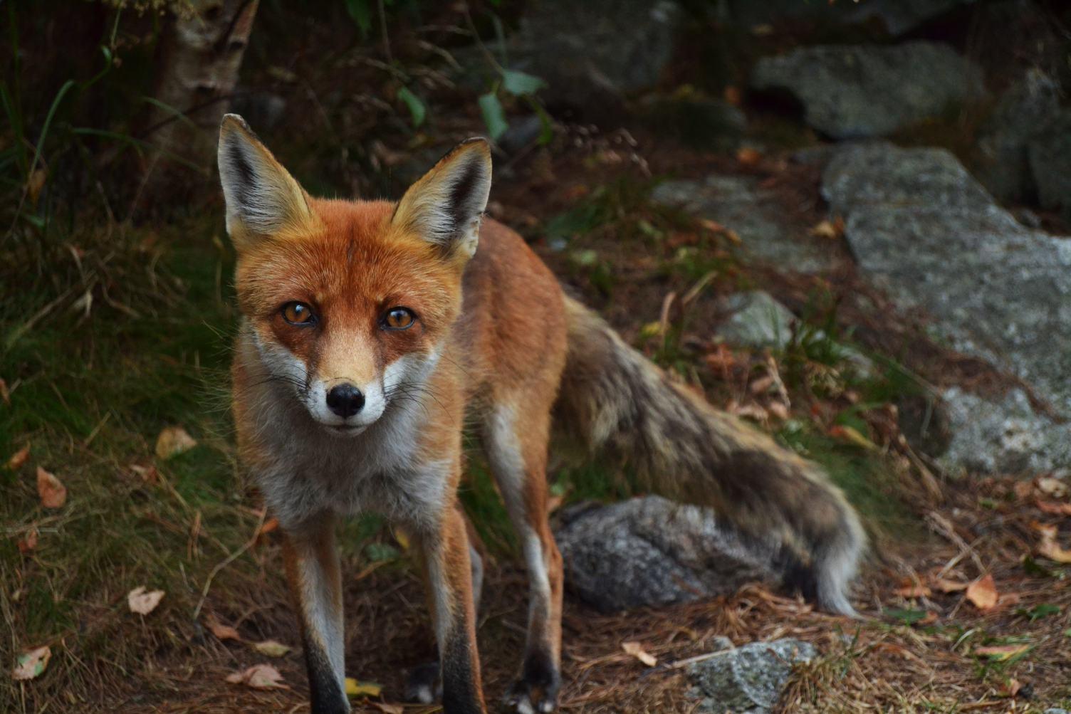Redhead Fox with Piercing Gaze