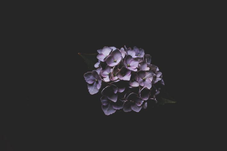 Purple Hortensia Flower on Black Background