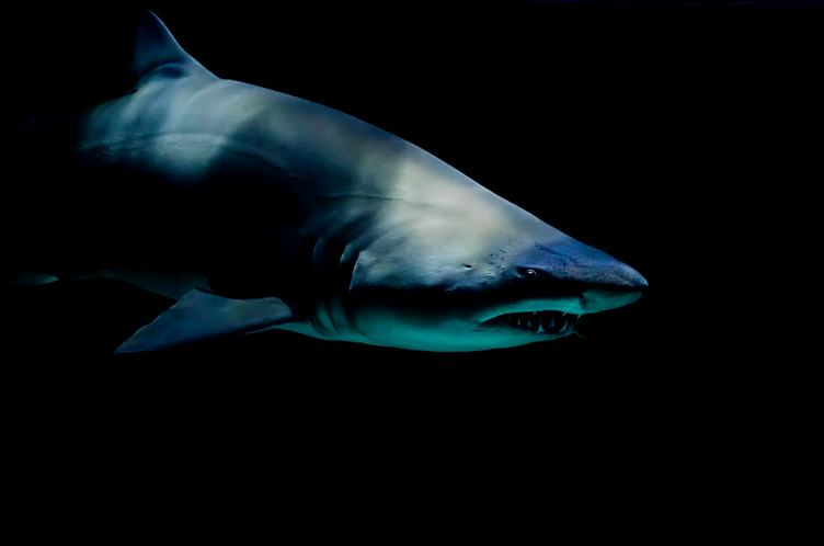 The Underwater Shark Shows its Teeth