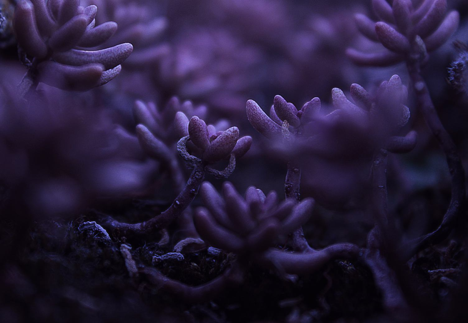 Closeup of Purple Plant