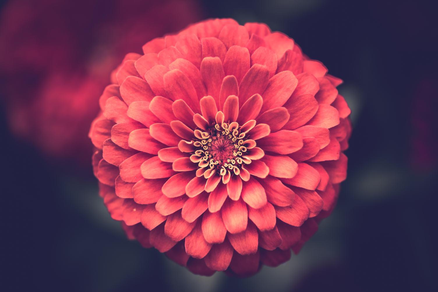 Closeup  of Beautiful Red Dahlia Flower