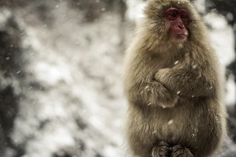 Sad Macaque Sits with Arms Crossed, Jigokudani Monkey Park, Japan