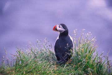 Puffin Sitting in Grass