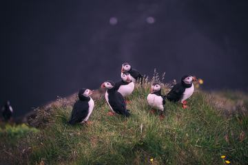 Group of Puffins on the Grass