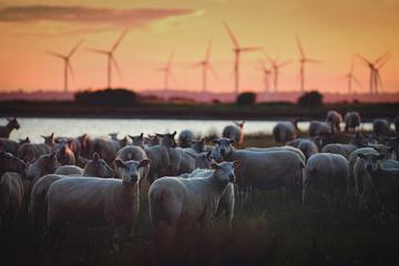 Flock of Sheep against the Background of a Wind Farm