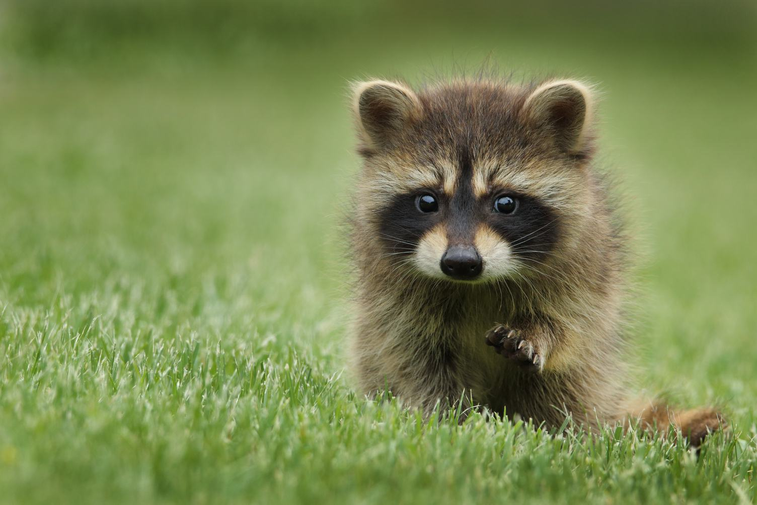 Cute Baby Raccoon on the Grass