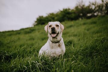 White Labrador Outdoors in Green Grass