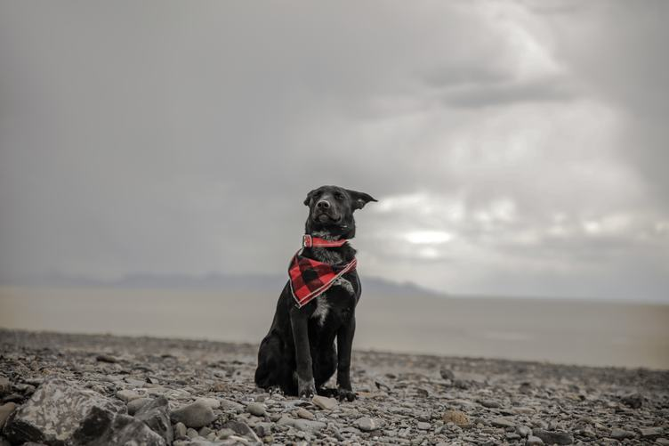 Black Dog Sitting on a Stony Beach