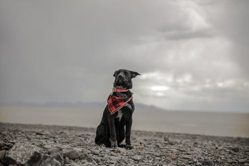 Black Dog Sitting on a Stony Beach