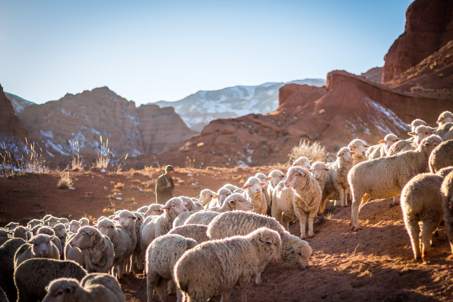 Flock of Sheep in the Mountains of Kyrgyzstan