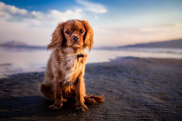 Amazing Spaniel Sitting on the Beach