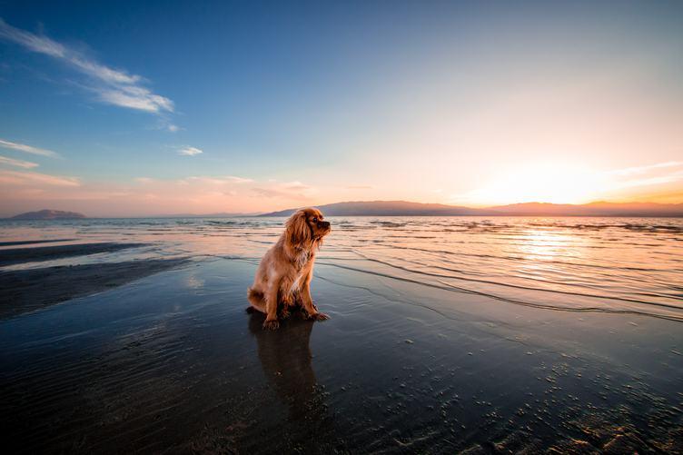 Pensive Spaniel Sitting on the Beach