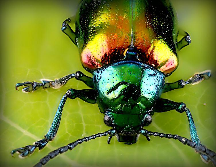 Beetle on Green Leaf Macro
