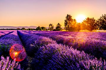Landscape with Lavender Field at Sunset