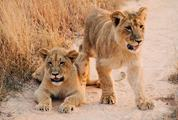 Two Cute Lion Children on Sand