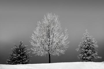 Three Trees in the Snow