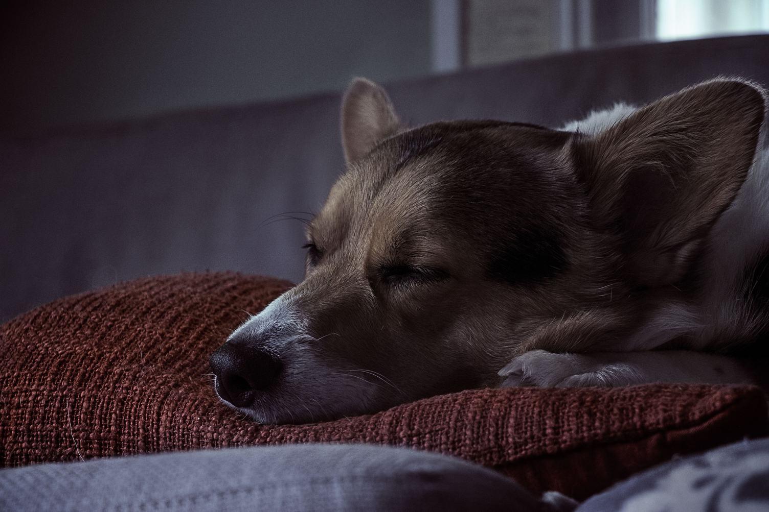 Dog Sleeping on the Pillow