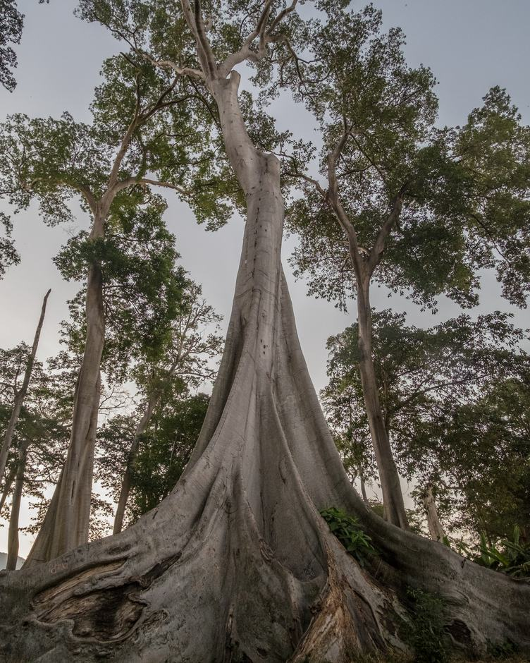 Trees with Big Roots
