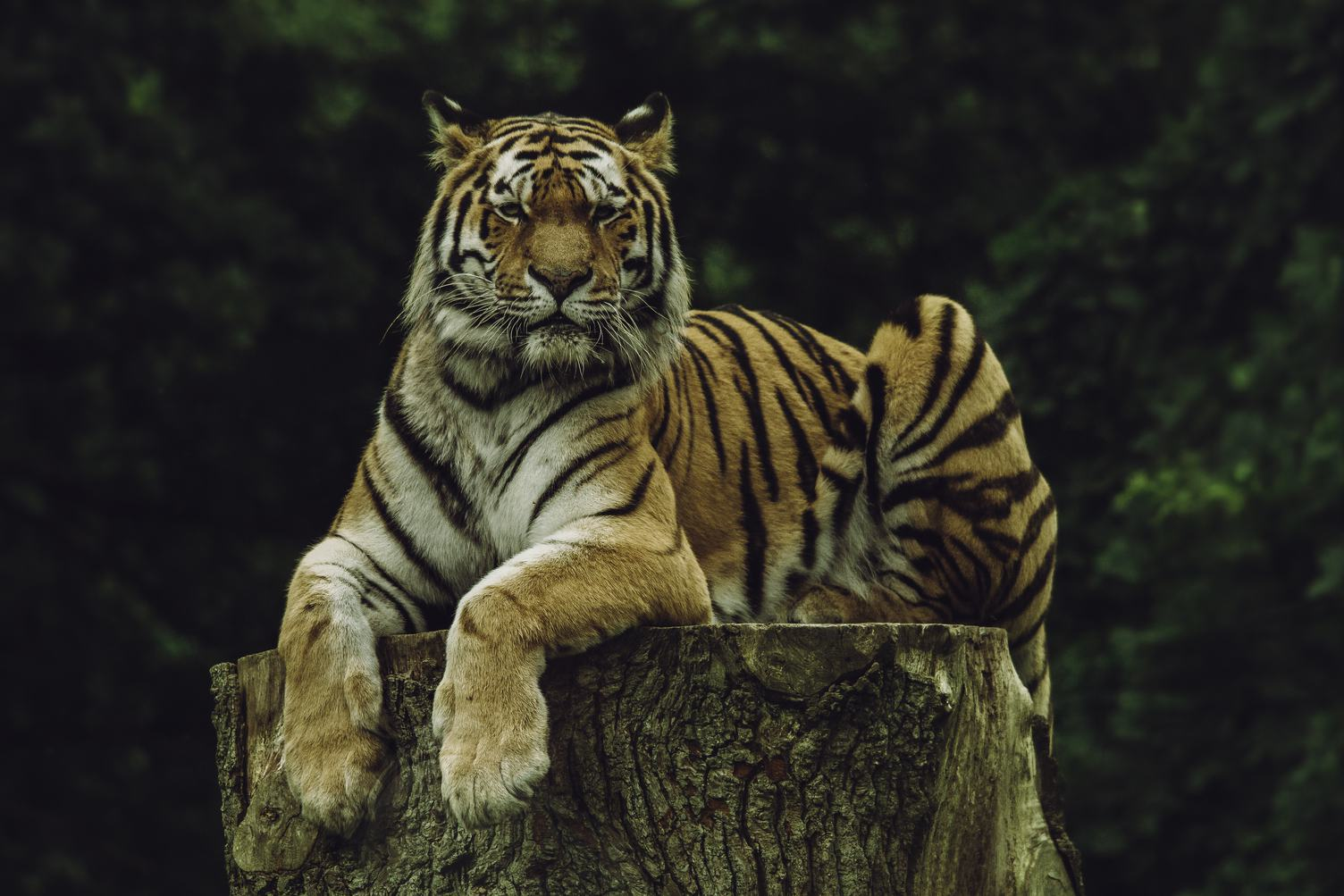 A Tiger Resting on a Tree Trunk