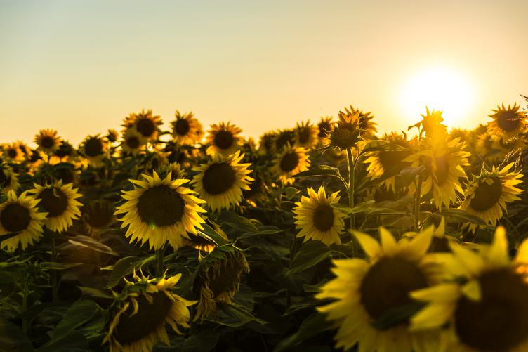 Field of Blooming Sunflowers at Sunset