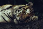 Tiger Lying on the Ground Closeup