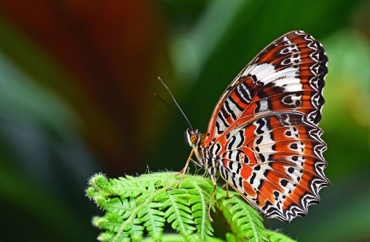 Single Orange Lacewing Butterfly Sitting on a Fern