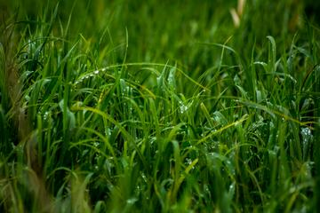 Morning Dew on Green Grass