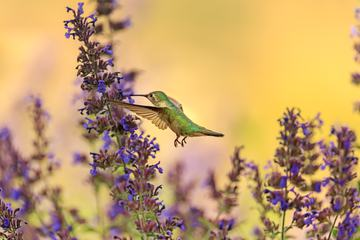 Hummingbird in Flight with Purple Flower