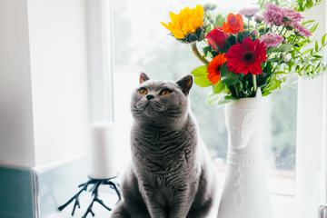 Gray British Shorthair Cat Sitting on Windowsill