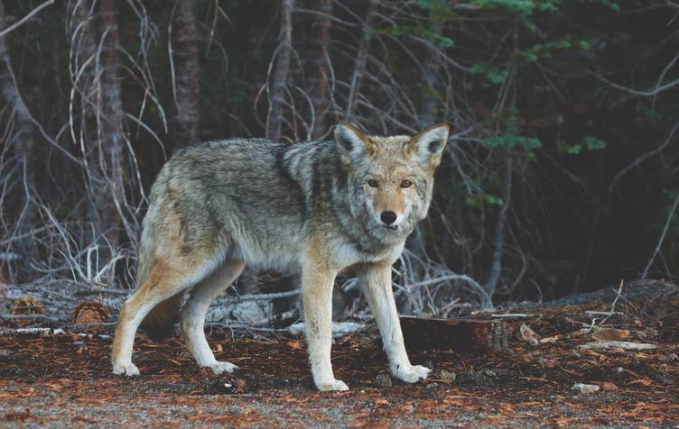 Wolf in Natural Environment, Looking Directly into the Camera