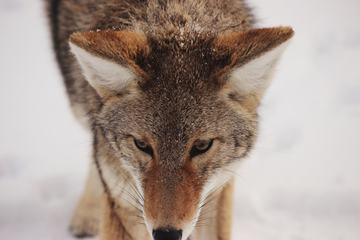 Closeup of Wolf in the Winter Snow