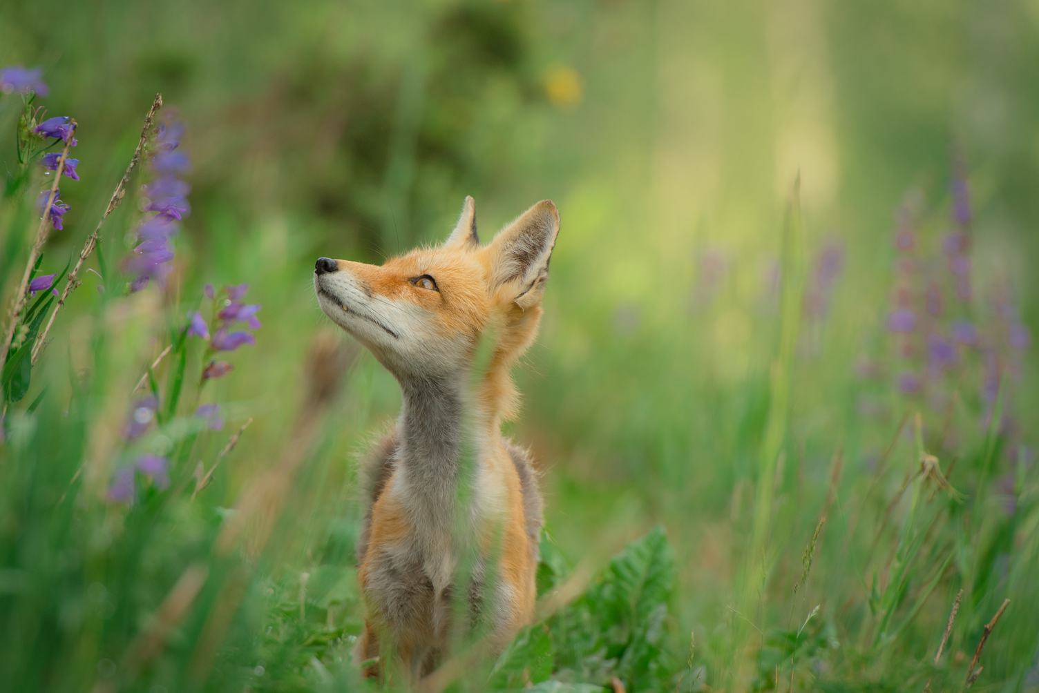 Red Fox in the Meadow