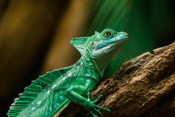 Closeup of Green Lizard Plumed Basilisk