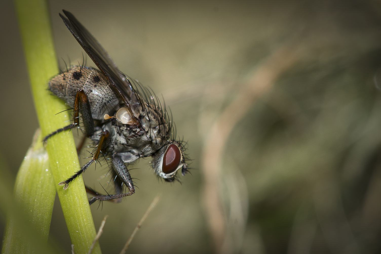 Closeup ofFly on Grass Blade