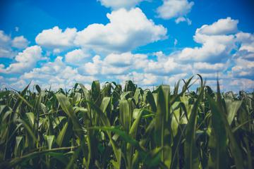 Delicate White Clouds above the Field of Corn