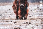 Yak on the Field While It Is Snowing