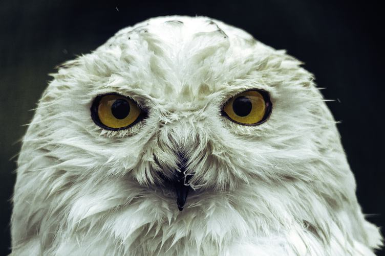 White Owl Staring with Golden Eyes