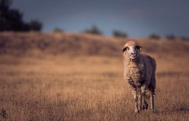 Single Sheep on a Dry Pasture