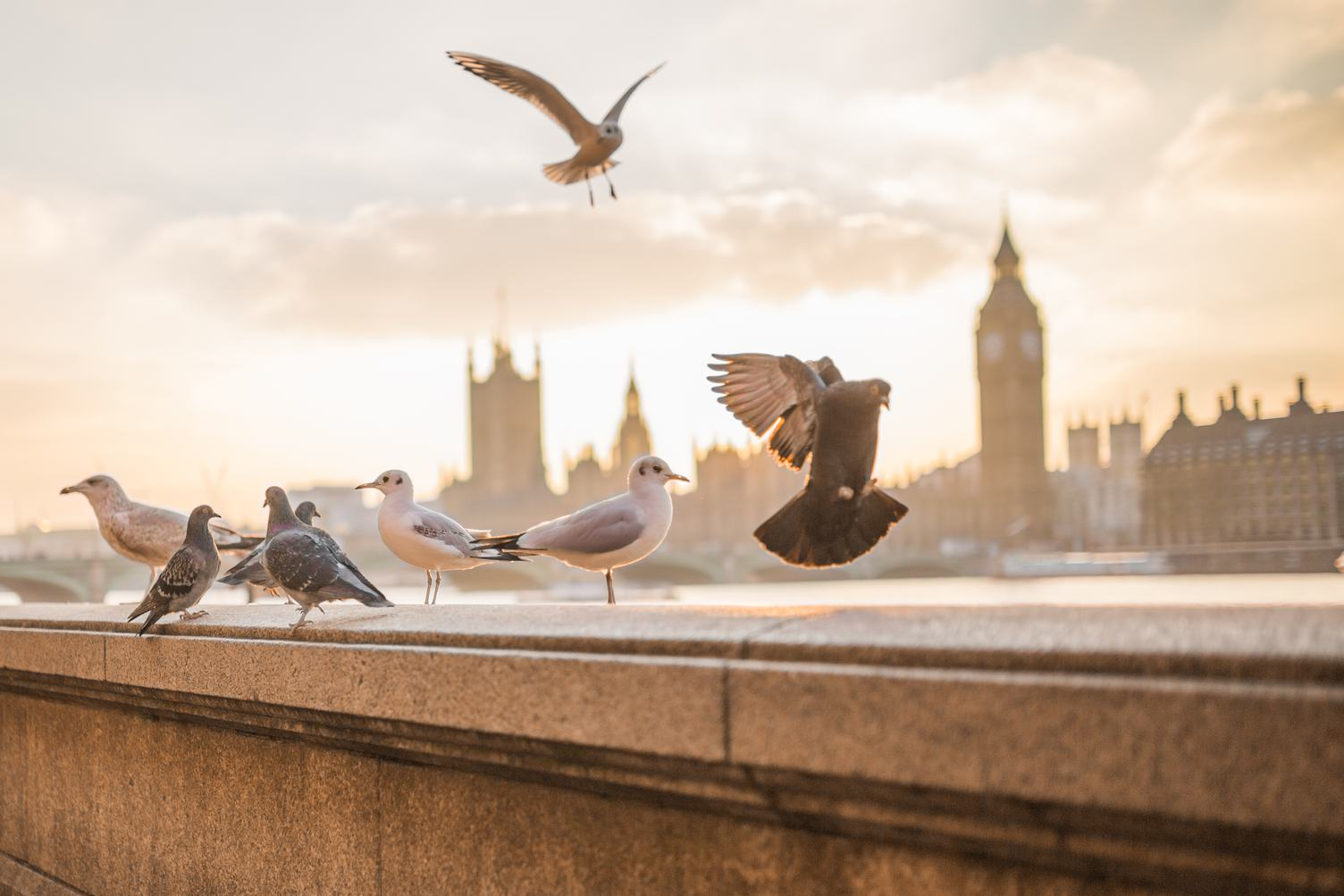 Pigeons and Seagulls Sitting on the Embankment of River Thames