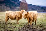 Two Golden Haired Highland Cows