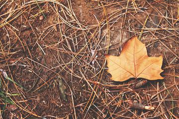 Autumn Maple Leaf on a Real Soil