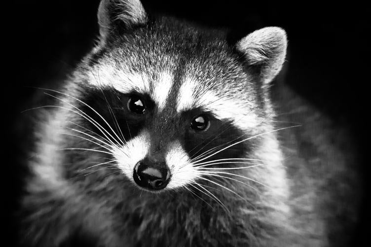 Black and White Portrait of Cute Raccoon