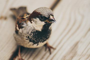 Closeup of Little Bird, Male House Sparrow