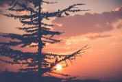 Silhouette of Larch Tree at Sunset