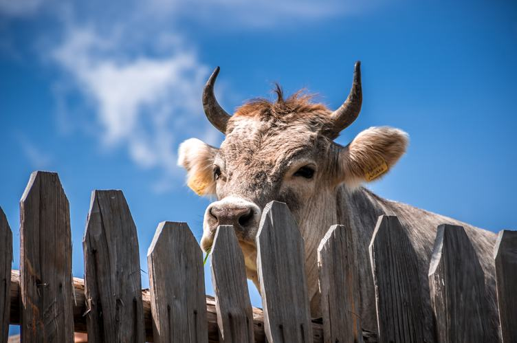 Cow with Horns Standing at the Fence