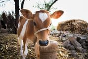 Adorable Calf Portrait